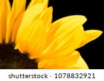 Bright Sunflower Macro On A...