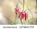 snakes head fritillary flowers...   Shutterstock . vector #1078841759