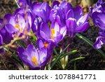 close up of purple crocus...   Shutterstock . vector #1078841771