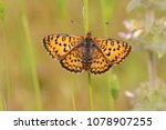 Small photo of Beautiful iparhan butterfly photographed on the wing ; Melitaea trivia