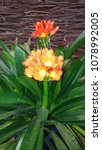 Small photo of Clivia flowers. Amaryllidaceae family. Natural colorful image. Close-up. Isolated. Floral background. Texture
