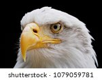 Portrait Of A Bald Eagle ...