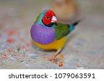 a gouldian finch  erythrura... | Shutterstock . vector #1079063591