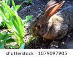 the flemish giant rabbit is a...   Shutterstock . vector #1079097905