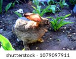 the flemish giant rabbit is a...   Shutterstock . vector #1079097911
