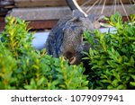 the flemish giant rabbit is a...   Shutterstock . vector #1079097941