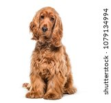 Stock photo english cocker dog pet studio photography isolated on white 1079134994