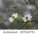 Dogwood blossoms on rainy...