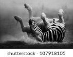 Zebra Rolling In The Dust ...