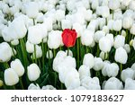Single Isolated Red Tulip Amon...