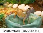 Yellow Common Leopard Gecko...