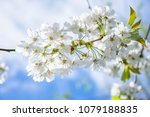 springtime blossom twig with... | Shutterstock . vector #1079188835