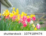 pink tulips and yellow... | Shutterstock . vector #1079189474