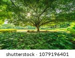 amazing banyan tree branches.... | Shutterstock . vector #1079196401