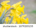 daffodils blossom on forest... | Shutterstock . vector #1079205155