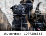 Stock photo puppy dogs waiting in the dog shelter behind the cage in italy 1079206565