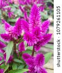Small photo of Purple Celosia flowering plant