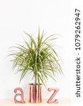 dracaena marginata tricolor  or ...   Shutterstock . vector #1079262947