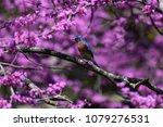 blue bird in a red bud tree | Shutterstock . vector #1079276531