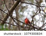 bright red northern male... | Shutterstock . vector #1079300834