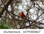 bright red northern male... | Shutterstock . vector #1079300867