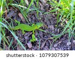 Small photo of green lizard in the grass