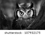 Close Up Of A Whitefaced Owl ...