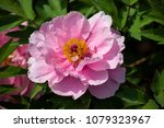 peony in green leaves. | Shutterstock . vector #1079323967