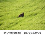 wild european hare  it's the... | Shutterstock . vector #1079332901