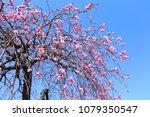 weeping plum tree | Shutterstock . vector #1079350547