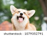 Stock photo corgi dog smile and happy in summer sunny day 1079352791