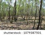 Birches In The Moor Near...