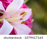 madonna lily with stamina and... | Shutterstock . vector #1079417165