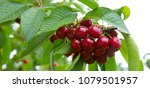 cherries hanging on a cherry... | Shutterstock . vector #1079501957