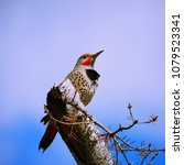 Small photo of flicker sat on tree branches