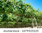 green grapes with leave | Shutterstock . vector #1079525225