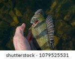 releasing perch fish trophy in... | Shutterstock . vector #1079525531