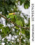 Small photo of Red-lored Parrot - Amazona autumnalis, beautiful green parrot from Central America forests, Costa Rica.