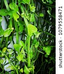 Small photo of Fresh green Cissus quadrangularis plant in the garden