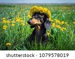 beautiful dachshund dog  black... | Shutterstock . vector #1079578019