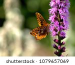 Small photo of Greater spangled fritillary on a gayfeather flower