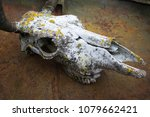 Small photo of skull of a horned animal