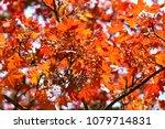 Decorativ Hybrid Red Maple...