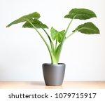isolated alocasia portadora... | Shutterstock . vector #1079715917