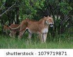big lioness in masai mara... | Shutterstock . vector #1079719871