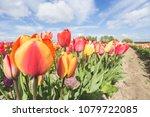 multicoloured tulip field and... | Shutterstock . vector #1079722085