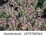Evergreen Hebe Hybride Purple...