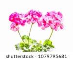 Geranium Flowers Painting