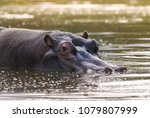 african hippopotamus  south... | Shutterstock . vector #1079807999