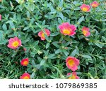 pink common purslane in the... | Shutterstock . vector #1079869385